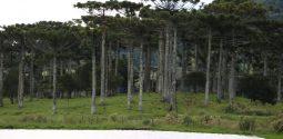 araucariapinheiro-susanakuster-19-03-19-6-e1553191499190